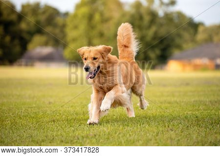 An Adult Golden Retriever Dog Plays And Runs In A Park An Open Field With Green Grass