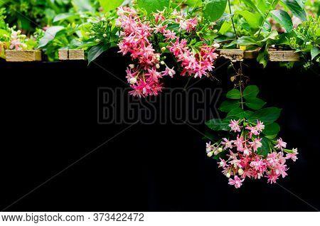 Rangoon Creeper Flowers (drunken Sailor, Quisqualis Indica, Chinese Honeysuckle, Combretum Indicum F