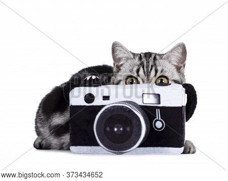 Cute Junior Silver Tabby British Shorthair Cat, Laying Behind And Peeping Over Edge Of Toy Photo Cam