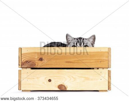 Cute Junior Silver Tabby British Shorthair Cat, Laying In And Peeping Over Edge Of Wooden Crate. Iso