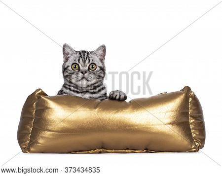 Cute Junior Silver Tabby British Shorthair Cat, Laying In Golden Basket With Paws Over Edge. Looking