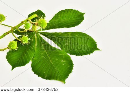 Chestnut Leaf And Green Spiky Chestnuts Isolated On A White Background. Place For Text.