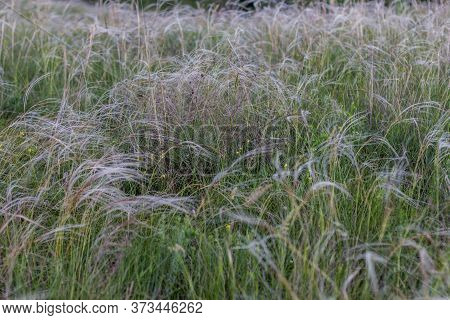 Wild Feather Grass. Feather Grass Field.  Blooming Feather Grass