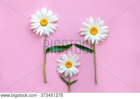 Three Large Daisies On A Pink Background. Daisies Symbolize Parents And Children. Parents Protect An