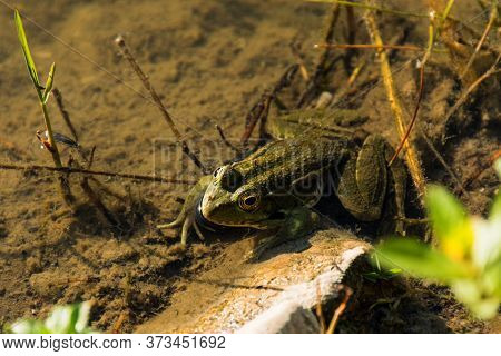 Green Frog Latin Pelophylax In A Pond, A Frog Sits In The Water And Looks, Top View Of An Amphibian