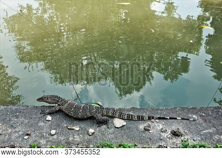 Varan On The Shore Of A Pond Close Up. A Large Reptile With A Flat Head, A Long Tail, Clawed Legs St