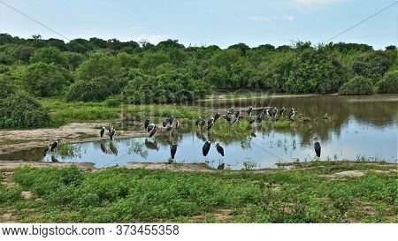 A Large Flock Of Marabou By The Lake On A Sunny Day. Birds With Black And White Plumage, On Long Leg