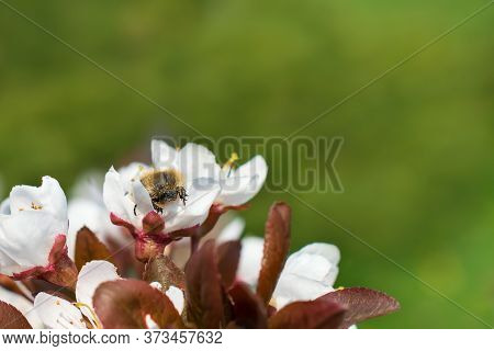 Shaggy Beetle Is On The White Flowers Of The Plum Tree On The Blurred Green Background With Copy Spa