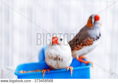 Two Colorful Grey And White Bird Zebra Finch Birdds, Taeniopygia Guttata, Sitting In A Cage On A Bal