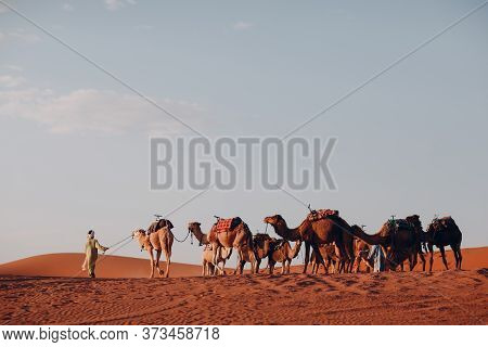 Camels And Conductor In The Desert Sahara. Sand And Sun.