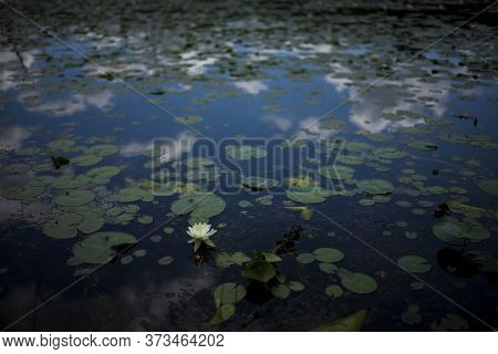 A Lone Water Lily Flower Blossoms In A Pond Located In Upstate New York On A Partly Cloudy Day.