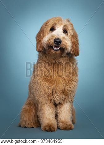 Adorable Smiling Junior Red / Apricot Cobberdog / Labradoodle, Standing Facing Front. Looking Toward
