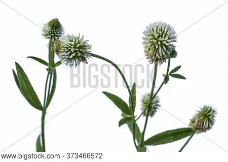 Stalks Of Trifolium Pannonicum Or Mountain Clover With White Flowers Close-up Isolated On A White Ba
