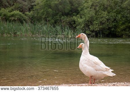 Two White Goose Standing Together One The Shore Of A River. Goose Are Inseperable Couples, Type Of B