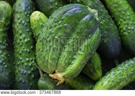 Ugly Triple Green Organic Cucumber With Dry Yellow Flower, Unusual Shape And Many Vegetables Around.
