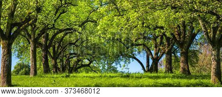 Canopy Of Rows Of Trees On A Green Meadow Build A Beautiful Natural Archway, A Rural Landscape In Pa