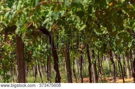 Vines With Fruits In The Region Of Cerro Chapadão In The City Of Jaguari In Brazil