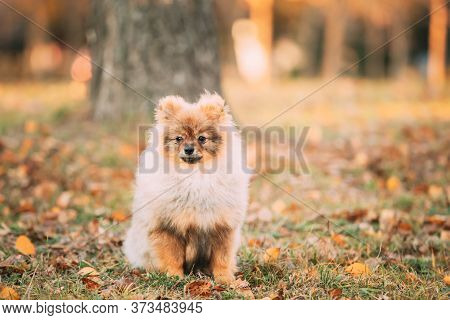 Young Red Puppy Pomeranian Spitz Puppy Dog Play Outdoor In Autumn Grass.