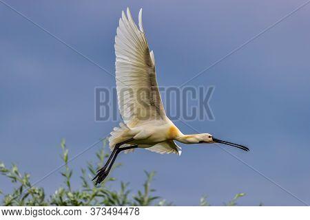 A Eurasian Spoonbill In Bird Sanctuary, On Lake Kerkini, Greece