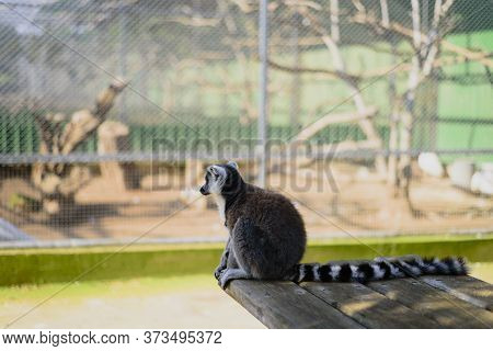 Sad Ring Tailed Lemur In Zoo Sitting And Watching To Aviary Or Cage