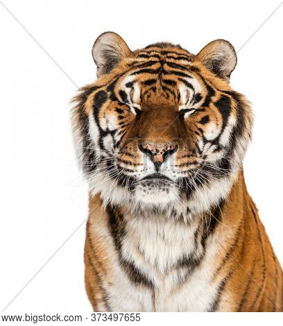 Close-up on a Tiger's head eyes closed, isolated
