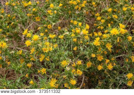 Scolymus Hispanicus, The Common Yellow Golden Thistle Or Spanish Oyster Thistle Background, Texture.