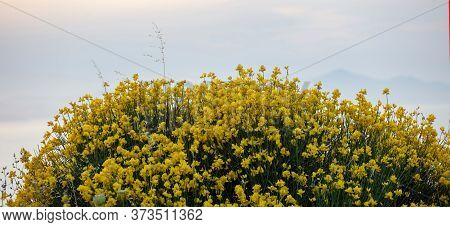 Spartium Junceum, The Spanish Broom, Rush Or Weaver Broom. Wild Toxic And Poisonous Ornamental Plant