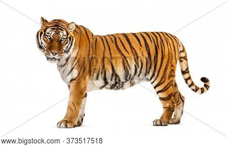 Side view of a Tiger posing standing up in front of a white background