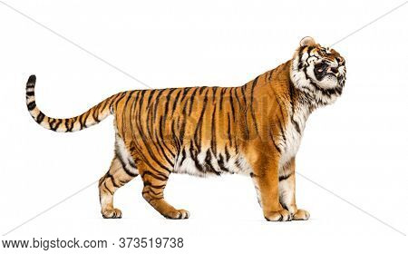 Side view, profile of a Tiger showing its tooth, isolated on white