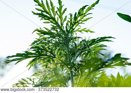 Ragweed Pollen Cause Problems For Those With Allergies. Ragweed And Mold Allergens In The Fall