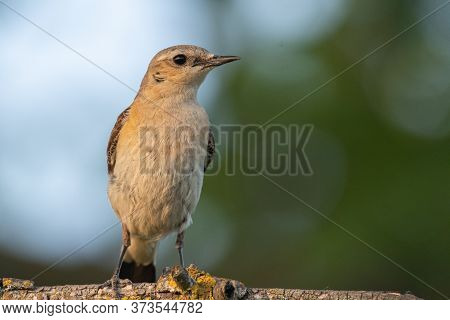 Northern Wheatear Sits On A Branch On A Beautiful Background. Oenanthe Oenanthe. Close Up.