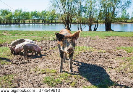 Pig Farm. Pigs In Field