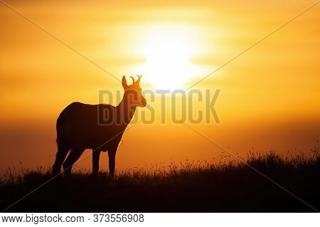 Silhouette Of Tatra Chamois Standing On The Horizon At Sunset.