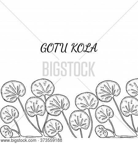 Gotu Kola Plant, Isolated On White Background. Centella Asiatica, Cosmetic And Medical Herb. Hand Dr