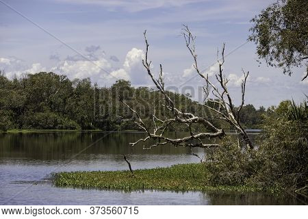 A Dead Tree Among Lush Vegetation Near The Water In Australia's Northern Territories Wetlands.