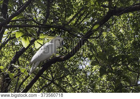 A Wild Sulphur Crested Cockatoo In A Tree In The Northern Territory Of Australia.