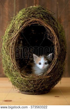 Tiny Calico Kitten Inside a Grass Egg on Wooden Background
