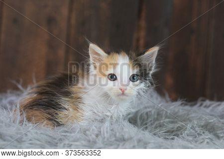 Adorable Calico Kitten Sitting on Fur