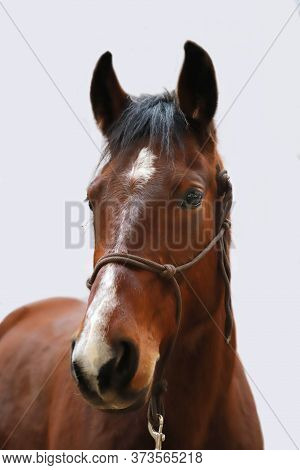 Portrait Of A Purebred Young Horse Head. Closeup Of A Young Domestic Horse Against White Background