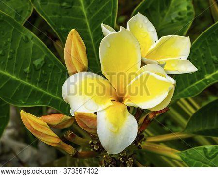 White Yellow Tropical Fragrant Plumeria Frangipani Flower Apocynacae Tree Macro Green Leaves Easter