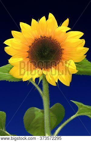 Sunflower (helianthus Annuus) Against A Blue Sky
