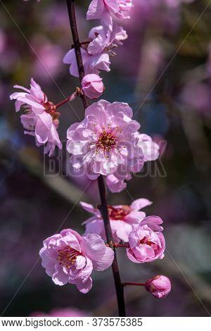 Pink Peach Blossom Flowering Fruit Tree Macro Bellevue Washington State