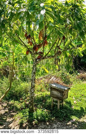 Cacao Tree (theobroma Cacao). Cocoa Beans On The Branches Of A Cane Against The Background Of Bright