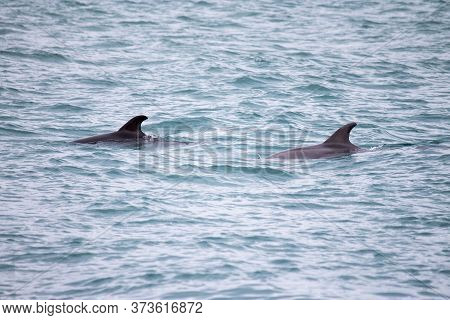 Dolphins Swim In The Sea. Dolphin Family Swimming Together In The Blue Ocean. Selective Focus