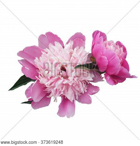 Pink Peony Flower Isolated On White Background. Spring Flowers.