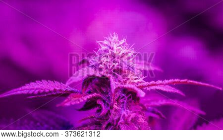 Closeup Of Indoor Growing Of Sativa Or Indica Cannabis Leaves And Flowers Under Infrared Led Lights.