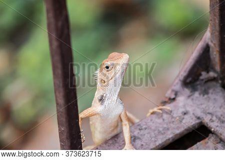 Oriental Garden Lizard (calotes Versicolor) Climbing Up A Metal Railing
