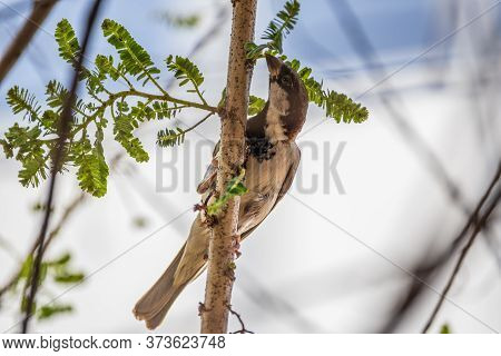 House Sparrow (passer Domesticus) Feeding Itself While Perching On A Branch
