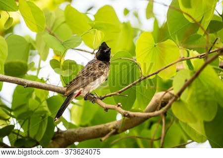 Red Vented Bulbul (pycnonotus Cafer) Perching On A Tree With Bright Green Leaves