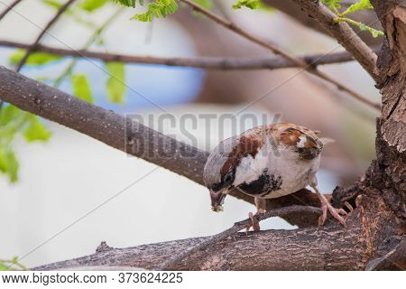 House Sparrow (passer Domesticus) Perching On A Tree Branch With Food In Its Mouth